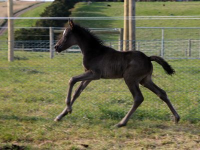 2017 Black Colt Foal (Owned by Kali Shannon / Jess Wilson) Dam: Naruni Park Coco  Chanel